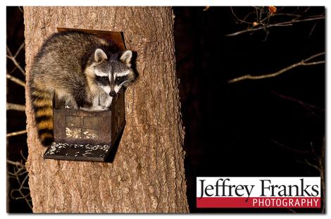 Raccoon_25149