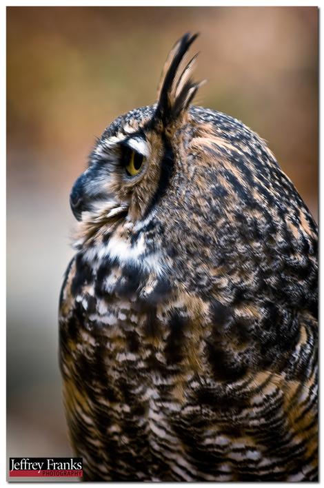 25183_great_horned_owl