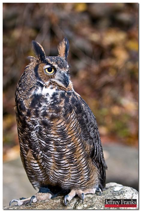 25187_great_horned_owl_3