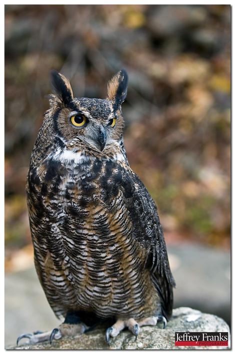 25191b_great_horned_owl