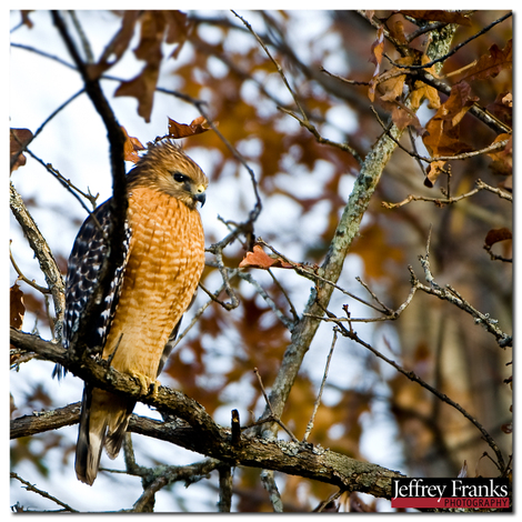 26313_red_shouldered_hawk_in_the_ea