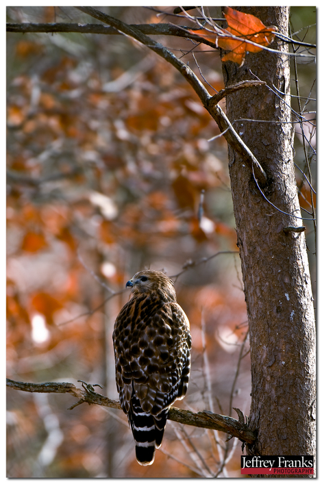 26791_red_shouldered_hawk_down_in_t