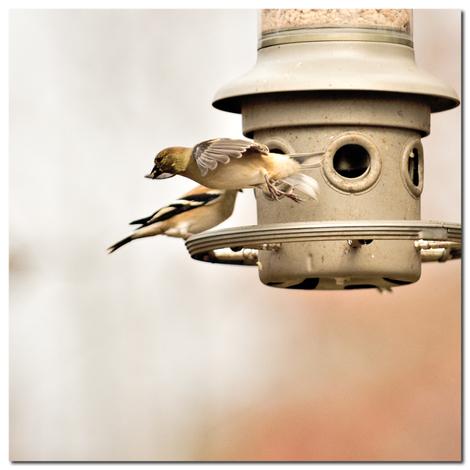 0756_american_goldfinch_in_flight