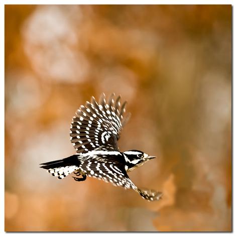 0789_female_downy_woodpecker_in_fli