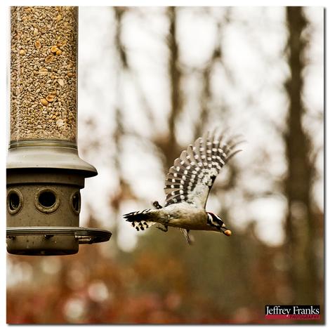 1117_female_downy_woodpecker_in_fli
