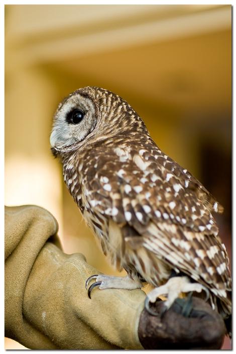 31990_great_horned_owl