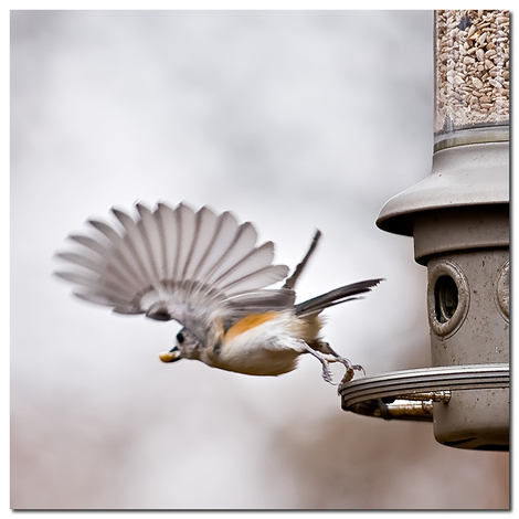 Titmouse_taking_off